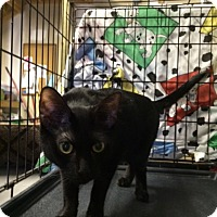 Adopt A Pet :: Raven - Byron Center, MI