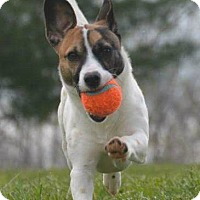 Adopt A Pet :: Amelia - Chesapeake, VA