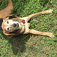 Beagle/Whippet Mix Dog for adoption in Olympia, Washington - Honey H