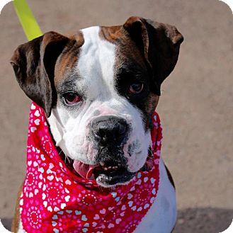 Boxer Dog for adoption in Denver, Colorado - Duchess Kate