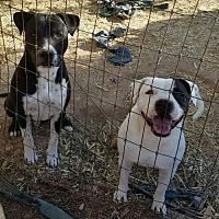 American Pit Bull Terrier Dog for adoption in Tonopah, Arizona - Buddy
