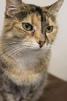 Domestic Mediumhair Cat for adoption in Columbus, Ohio - Penny