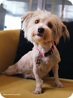 Westie, West Highland White Terrier/Maltese Mix Dog for adoption in Los Angeles, California - Cailin