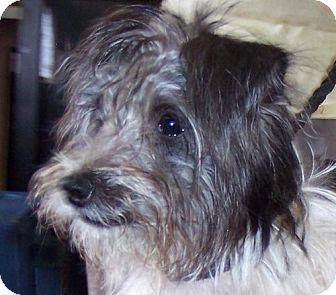 Shih Tzu Mix Dog for adoption in Guthrie, Oklahoma - Oliver