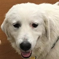Great Pyrenees Dog for adoption in Spring, Texas - Gwyneth (S)