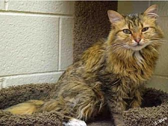 Domestic Mediumhair Cat for adoption in Ogden, Utah - GEMINI