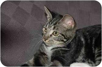 Domestic Shorthair Kitten for adoption in Cincinnati, Ohio - Allie