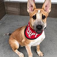 Adopt A Pet :: Shelby - Van Nuys, CA