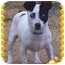 Photo 2 - Rat Terrier/Chihuahua Mix Dog for adoption in Spring Valley, New York - Jack