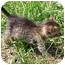 Photo 2 - Domestic Shorthair Kitten for adoption in Aldie, Virginia - Boogie and Dash