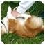 Photo 2 - Corgi/Pomeranian Mix Puppy for adoption in Ladysmith, Wisconsin - Chowder