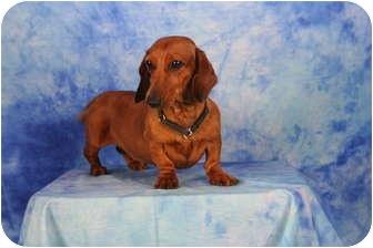 Dachshund Dog for adoption in Ft. Myers, Florida - Ellen