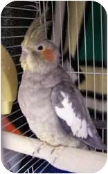 Cockatiel for adoption in Chambersburg, Pennsylvania - Ranger