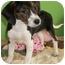 Photo 1 - Beagle/Basset Hound Mix Puppy for adoption in Struthers, Ohio - Forrest