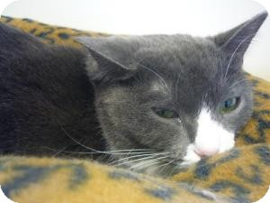 Domestic Shorthair Cat for adoption in Milwaukee, Wisconsin - Pinky