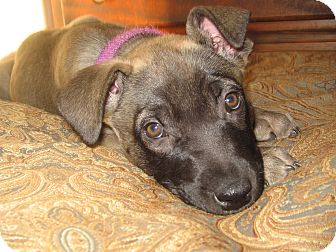 Shepherd (Unknown Type) Mix Puppy for adoption in Victoria, British Columbia - Dinah