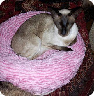 Siamese Cat for adoption in Columbus, Ohio - Emma