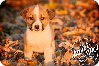 Shepherd (Unknown Type)/Anatolian Shepherd Mix Puppy for adoption in Albany, New York - Herby