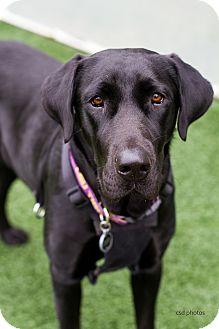 Great Dane/Labrador Retriever Mix Dog for adoption in Baton Rouge, Louisiana - Lenore