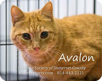 Domestic Shorthair Cat for adoption in Somerset, Pennsylvania - Avalon