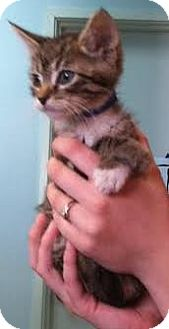 Domestic Shorthair Kitten for adoption in Westminster, California - Ally