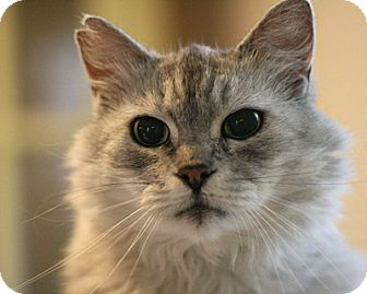 Domestic Mediumhair Cat for adoption in Columbia, Maryland - Cloudy Girl