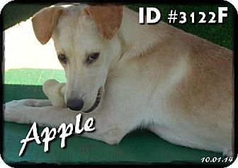 Hound (Unknown Type)/Feist Mix Dog for adoption in Corinth, Mississippi - Apple