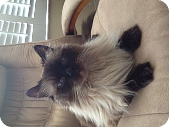 Himalayan Cat for adoption in Fort Myers, Florida - Rebel