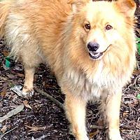 Adopt A Pet :: Gravy - Baton Rouge, LA
