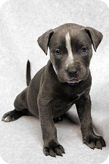 American Pit Bull Terrier Mix Puppy for adoption in Westminster, Colorado - Reyanne