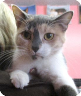 Calico Cat for adoption in Reeds Spring, Missouri - Kandace
