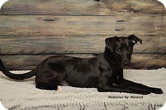 Labrador Retriever Mix Puppy for adoption in Frankfort, Illinois - Bubbles