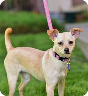 Chihuahua Dog for adoption in Santa Monica, California - Chanel