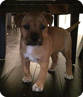 Black Mouth Cur/Rhodesian Ridgeback Mix Puppy for adoption in Houston, Texas - Harley