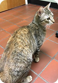 Domestic Shorthair Cat for adoption in Wayne, New Jersey - Autumn