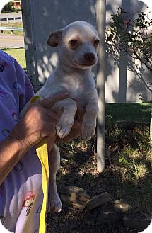 Chihuahua Mix Puppy for adoption in Washington, D.C. - Finster