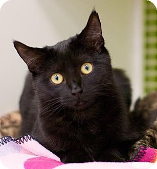 Domestic Shorthair Kitten for adoption in Troy, Michigan - Bou