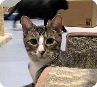 Domestic Shorthair Cat for adoption in Lafayette, New Jersey - Stevie
