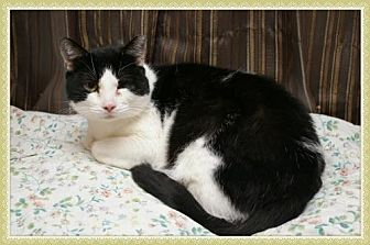 Domestic Shorthair Cat for adoption in Island Heights, New Jersey - Bandit