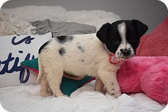 Border Collie Mix Puppy for adoption in Brattleboro, Vermont - Ester