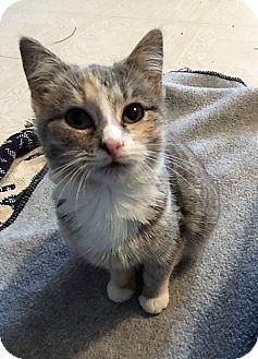 Domestic Shorthair Kitten for adoption in Dumfries, Virginia - Delilah