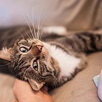 Adopt A Pet :: Addison - Statesville, NC