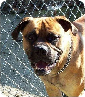 Bullmastiff Dog for adoption in Templeton, Massachusetts - Mcgoo