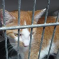 Domestic Shorthair/Domestic Shorthair Mix Cat for adoption in Robinson, Illinois - Dora