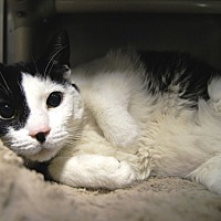 Adopt A Pet :: Bandit - New Milford, CT