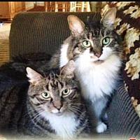 Adopt A Pet :: Thor - Madison, NJ