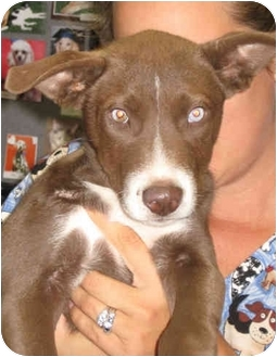 Catahoula Leopard Dog/Labrador Retriever Mix Puppy for adoption in Poway, California - Casey
