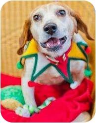 Beagle Dog for adoption in Buffalo, New York - Uno