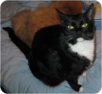 Domestic Shorthair Cat for adoption in Greenville, South Carolina - Little Bit