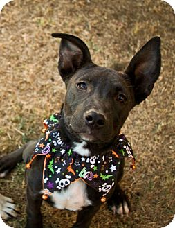 Pit Bull Terrier/Boxer Mix Puppy for adoption in Gilbert, Arizona - Darby